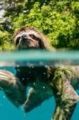 Sloth swimming