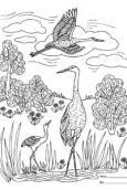 Sandhill Crane coloring contest 2021