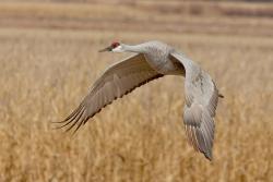 Flying Crane
